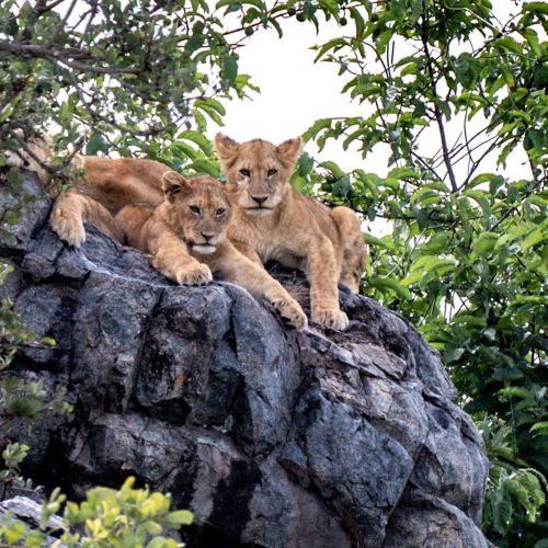 tanzania-safari-africian-cats-amazing-wildlife-in-africa-4.jpg