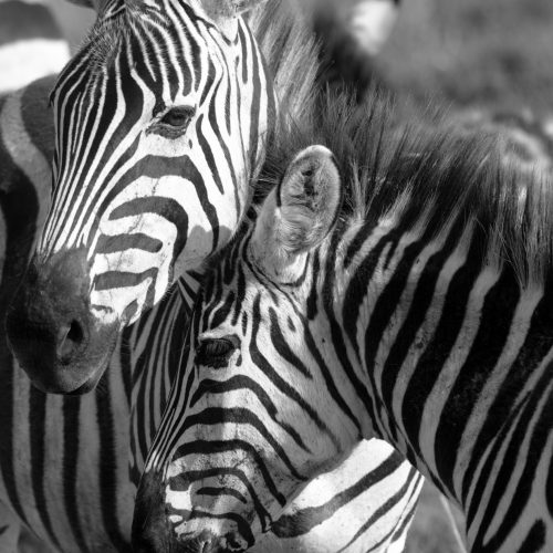 wanderful-tanzania-african-safari-zebras-found-on-a-safari-tour-6.jpg